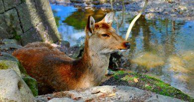 Ciervo tumbado al lado del río en Nara, Japón