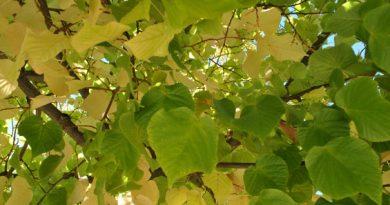hojas del árbol del tilo