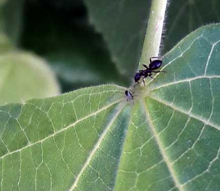 Hormiga comiendo hoja