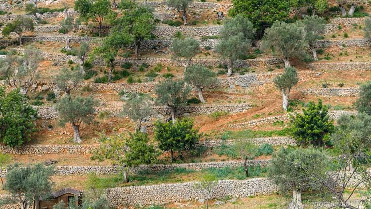 Terrazas de olivos en Mallorca, España