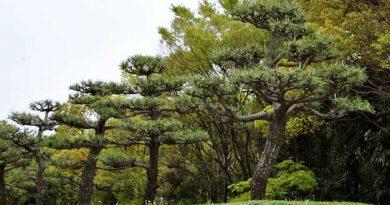 senda de pinos en Japón