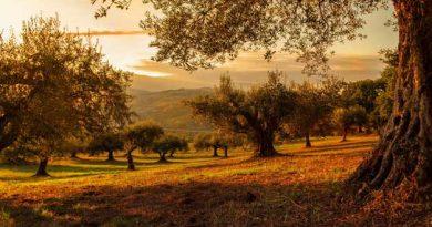 Campo de olivos al atardecer