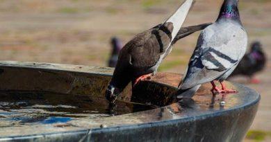 palomas bebiendo en una fuente