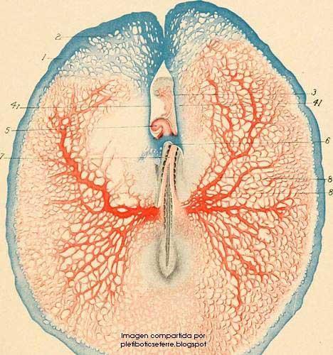dibujo bronquios humanos