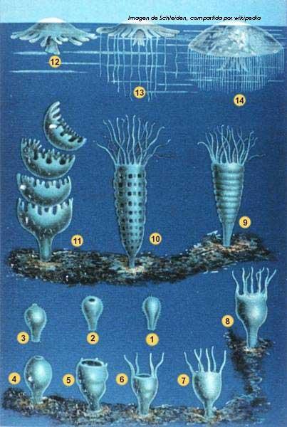 medusas macho y hembra