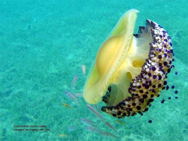 medusa amarilla