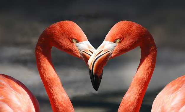 Dos flamingos unidos que forman un corazón